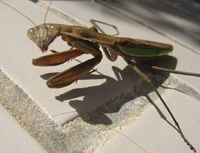 Praying Mantis sunning herself on the eastern wall.